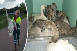 Automobilist rijdt zwanenfamilie aan: pul en papa-zwaan dood